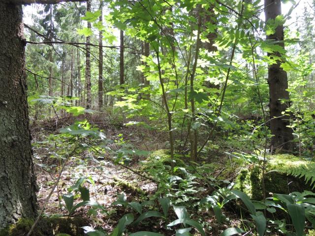 Hakkuun jälkeinen talousmetsä ei usein näytä tältä. Jatkuvan kasvatuksen metsänhoitomallissa ei tehdä avohakkuita, joten metsän ekosysteemi ei muutu tuhoisasti hakkuiden takia.